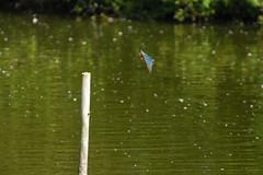 A83_8075 (Imagine Bill) Tags: kingfisher brandonmarsh brandonmarshnaturereserve