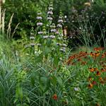 Mercers Road; Phlomis tuberosa 'Amazone'; Helenium; Verbena bonariensis. Photo Polly Braden
