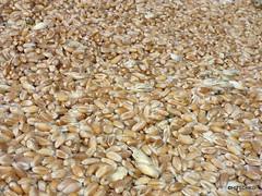 Weizen, direkt vom Mähdrescher (HITSCHKO) Tags: landwirtschaft emmental weizen mähdrescher weizenernte getreideernte hangausgleich
