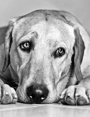 Time to go OUT!!!!! (tottinho7d) Tags: bw dog dogs animal animals canon puppy eos iso800 labrador raw bored bn 7d animali biancoenero lizzy   wideopen ef2470f28l canonef2470f28l f28l ef2470f28 canoneos7d