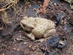 Common Toad - Ryton Wood, Warwickshire 2013 (Steven Falk) Tags: toad steven common falk bufo