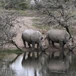 White Rhinos Drinking thumbnail