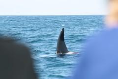 california orca morrobay killerwhale sanluisobispo subseakayakandwhaletours