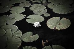 Lily (SolsticeSol) Tags: beautifulflowerpictures beautifulflowerimages