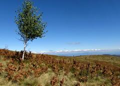 egy magányos fa / a  lonely tree (debreczeniemoke) Tags: autumn tree bluesky lonely transylvania transilvania fa silverbirch erdély betulapendula ősz magányos rozsály kékég canonpowershotsx20is igniş közönségesnyír bibircsesnyír