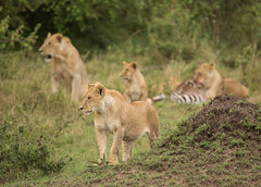Watching in hope (TenPinPhil) Tags: africa canon wildlife safari 2013 philipharris flickrbigcats 5dmarkiii tenpinphil