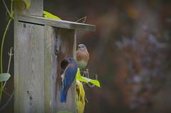 Bluebird pair (hickamorehackamore) Tags: backyard october connecticut wildlife birdhouse ct bluebird habitat bluebirds easternbluebird easternbluebirds certified nwf nestingbox haddam 2013 sialissialis