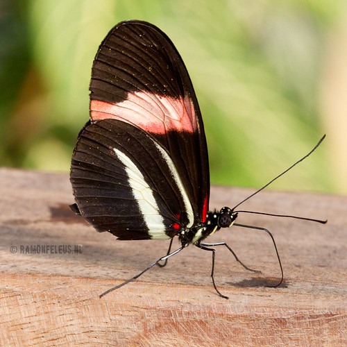 Heliconus Erato butterfly