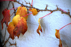 Red ivy close angle (Cruise93) Tags: thanksgiving autumn winter red orange brown holiday color art fall texture halloween nature public beautiful leaves yellow season leaf beige october warm background seasonal rich warmth peaceful ivy structure minimal depthoffield simple tones position climbingplant defocused redivy leafveins blurredbackground neutraltones cleanbackground fineartimage sparsecomposition redivyivyclimbingplantredyellowleavesleaffallautumnbrownorangetonesrichwarmbeigeneutraltonesdepthoffielddefocusedblurredbackgroundcleanbackgroundminimalsparsecompositionsimplenaturepositionseasonleafveinsstructuretextu