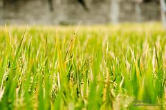 Reportaje Bali (Sergio Bjar) Tags: bali rice ubud arroz tanalot klungkun
