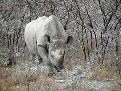 The black rhinoceros or hook-lipped rhinoceros (Diceros bicornis) (Linda DV (away)) Tags: africa travel nature canon river geotagged nationalpark namibia etosha southernafrica blackrhinoceros rhinocerotidae criticallyendangered dicerosbicornis 2013 geomapped hooklippedrhinoceros iucnredlist lindadevolder powershotsx40