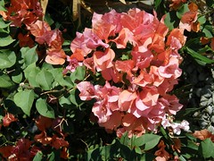 #3636 lesser bougainvillea (ブーゲンビリア) (Nemo's great uncle) Tags: ca usa flower paper flora bougainvillea socal southerncalifornia 花 palmdesert paperflower glabra ブーゲンビリア bougainvilleaglabra イカダカズラ 筏葛