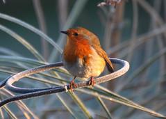 Frosty Morning (Treflyn) Tags: uk morning wild bird robin garden reading back frost britain wildlife frosty british berkshire earley