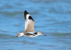 Willet in flight (garyd03) Tags: beach nikon hammock willet d610 nikonflickraward vision:sky=0782 vision:outdoor=0978