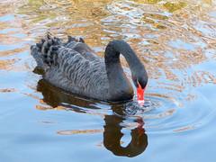 Black swan (I) (.Bambo.) Tags: ave cisne animalia cygnusatratus cygnus anatidae
