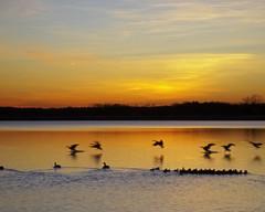 Mingling (DASEye) Tags: lake bird birds sunrise dawn geese duck nikon ducks dayseye davidadamson