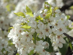 Blooms of Spring by Bank (maorlando - God keeps me as I lean on Him!!) Tags: flowers usa white tree sunshine early spring texas blossoms creation blooms ornamental harriscounty inwinter harbingerofspring