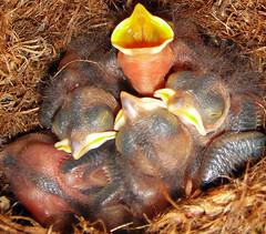 Baby_birds (sonja_ely) Tags: pink wild baby bird birds backyard babies nest small egg gray young tiny hatch titmouse tufted tuftedtitmouse hatchling beaks babybirds titmice featherless
