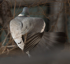 Fauna en Lavapis 4 (James*B) Tags: madrid fauna pigeon paloma pjaro lavapis woodpigeon argumosa palomatorcaz teatrovalleincln