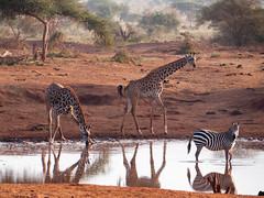 Two giraffes, one zebra (altsaint) Tags: kenya panasonic safari zebra giraffe tsavo gf1 45200mm