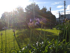 Agapantos (MelisaOrru) Tags: naturaleza sanjuandedios violeta rayosdesol