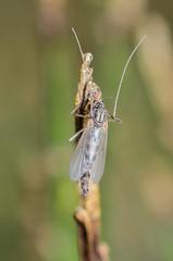 Midge - ♀ (ajblake05) Tags: canada macro female britishcolumbia insects richmond flies northamerica midges diptera ionaisland lowermainland greatervancouver hexapoda ionabeachregionalpark chironomidae