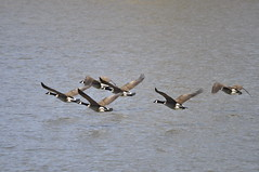 _DSC0310 (Putneypics) Tags: river geese spring vermont goose migration canadagoose brantacanadensis putney branta putneypics