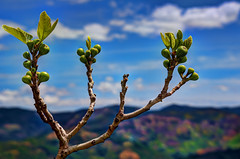 wild fig tree with fruits emerging (Steve Slater (used to be Wildlife Encounters)) Tags: trees nature spring hdr flowersplants wildfig europeantrees treesofspain