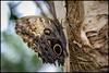 Owl Butterfly (Caligo memnon) (PropWA) Tags: seattle canon butterfly washington unitedstates pacificsciencecenter fav10 tamronspaf1750mmf28xrdiii