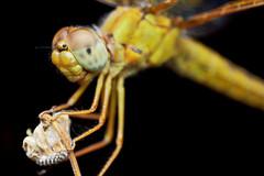 Mexican Amberwing (defante) Tags: orange macro closeup bug insect dragonfly odonata odonate