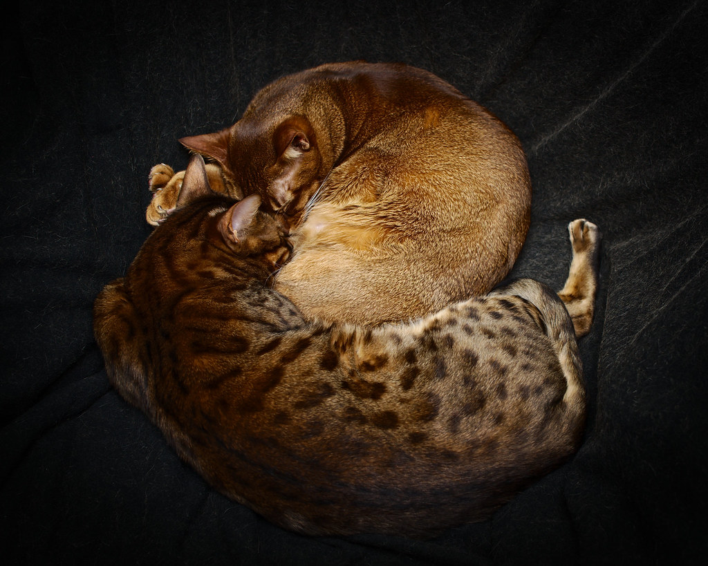The World's Best Photos of bengal and loki - Flickr Hive Mind
