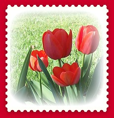 Red Tulips for a Valentine (snow41) Tags: flowers red tulips framed 2006 valentine