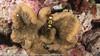 Periclimenes brevicarpalis - crevette queue de paon - White Spot Anemone Shrimp.jpg