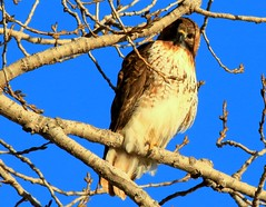 red-tailed hawk near Lime Springs IA 854A0390 (lreis_naturalist) Tags: county hawk howard reis iowa larry springs lime redtailed