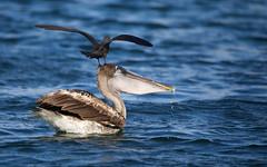 Galapagos-20140714-1650-BK2W4060 (Swaranjeet) Tags: birds pelican pelicans galapagos ecuador bird largebirds july2014 canon fullframe 1dx eos1dx dslr sjs swaran swaranjeet swaranjeetsingh sjsvision sjsphotography swaranjeetphotography 2014 eos canoneos1dx 35mm ef pro 200400 canonef200400mm canonef200400mmf4lisusm14x singh photographer thane mumbai india indian