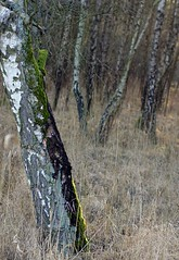 Birke im Sonnenlicht  / birch in the sunlight (Ellenore56) Tags: wood trees light sunlight inspiration color colour detail reflection tree texture nature forest botanical licht perception log flora view magic natur perspective bark trunk imagination birch moment wald farbe reflexion bume birchwood baum perspektive reflektion birke birchbark augenblick botanik bole textur faszination sonnenlicht birken birchforest borke birkenwald sichtweise pflanzenwelt birchtrunk birkenrinde birkenstamm ellenore56 sonyslta77 18022015 birkeimsonnenlicht birchinthesunlight