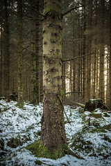 End of winter (A blond-Tess) Tags: trees winter light snow tree forest woodland scotland moss woods moody snowy january treetrunk skog 7d baretrees atmospheric mossa dumfriesandgalloway shallowdof endofwinter skottland outdoorphotography tessaxelsson dumfriesforestpark