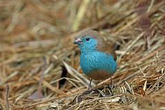 Southern Cordonbleu, Garneton, Zambia (Terathopius) Tags: zambia copperbelt kitwe uraeginthusangolensis garneton southerncordonbleu uraeginthusangolensisniassensis