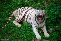 Ferocious.. (Sujith Selvan) Tags: green zoo nikon tiger nikkor whitetiger bengaltiger d3200