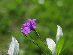 Mexican Petunia (bamboosage) Tags: c m42 12 tomioka tominon f5cm