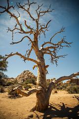 IMG_5163 (Lastexit) Tags: california desert joshuatree yuccavalley