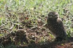 Corujas (Evandro O Souza) Tags: owl coruja animais