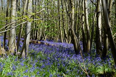 (Giramund) Tags: blue flower bluebells forest kent spring sunny