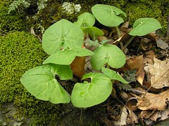 Wild Ginger Plants SOOC (mudder_bbc) Tags: plant newyork spring troy wildflowers wildginger oakwoodcemetery devilskitchentrail