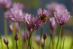 Ciboulette (Philis.Nat) Tags: macro fleur rose canon plante jardin condiment feuille ciboulette aromatique eos7d