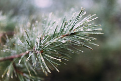 May Snow (krwitschen) Tags: white snow minnesota pine frost may frosty waters boundary minnesoa