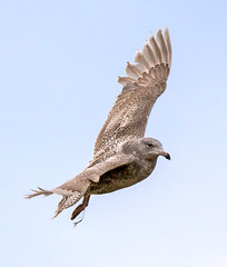 Young Glaucous gull (Larus hyperboreus) / Hvtmfur (thorrisig) Tags: seagulls bird birds island iceland gulls fugl sland seabird fuglar