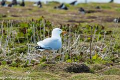 Herring Gull; (Larus argentatus)_Farne Islands May 2016 (Mick PK) Tags: uk england bird gull northumberland nationaltrust northeast farneislands larusargentatus seabird herringgull nationalnaturereserve innerfarne