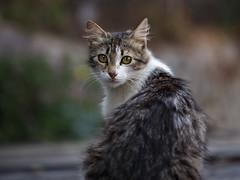 Street cat 136 (Yalitas) Tags: pet cats cat canon kat feline chat kitty gato felino katze katzen kot kedi kass gatta streetcat kotka  kocka  katte  katzchen kottur