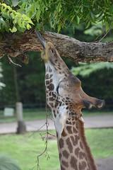 Giraffe (citizen for boysenberry jam) Tags: wild animals zoo texas waco giraffe bluetongue waza aza cameronparkzoo